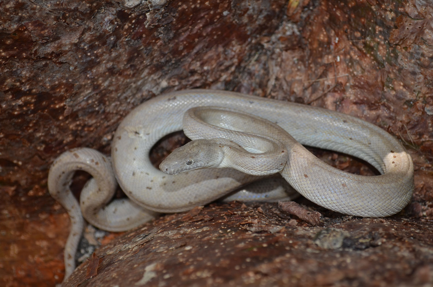 Asheville professor and Smokies researcher discovers four new snake species in six years