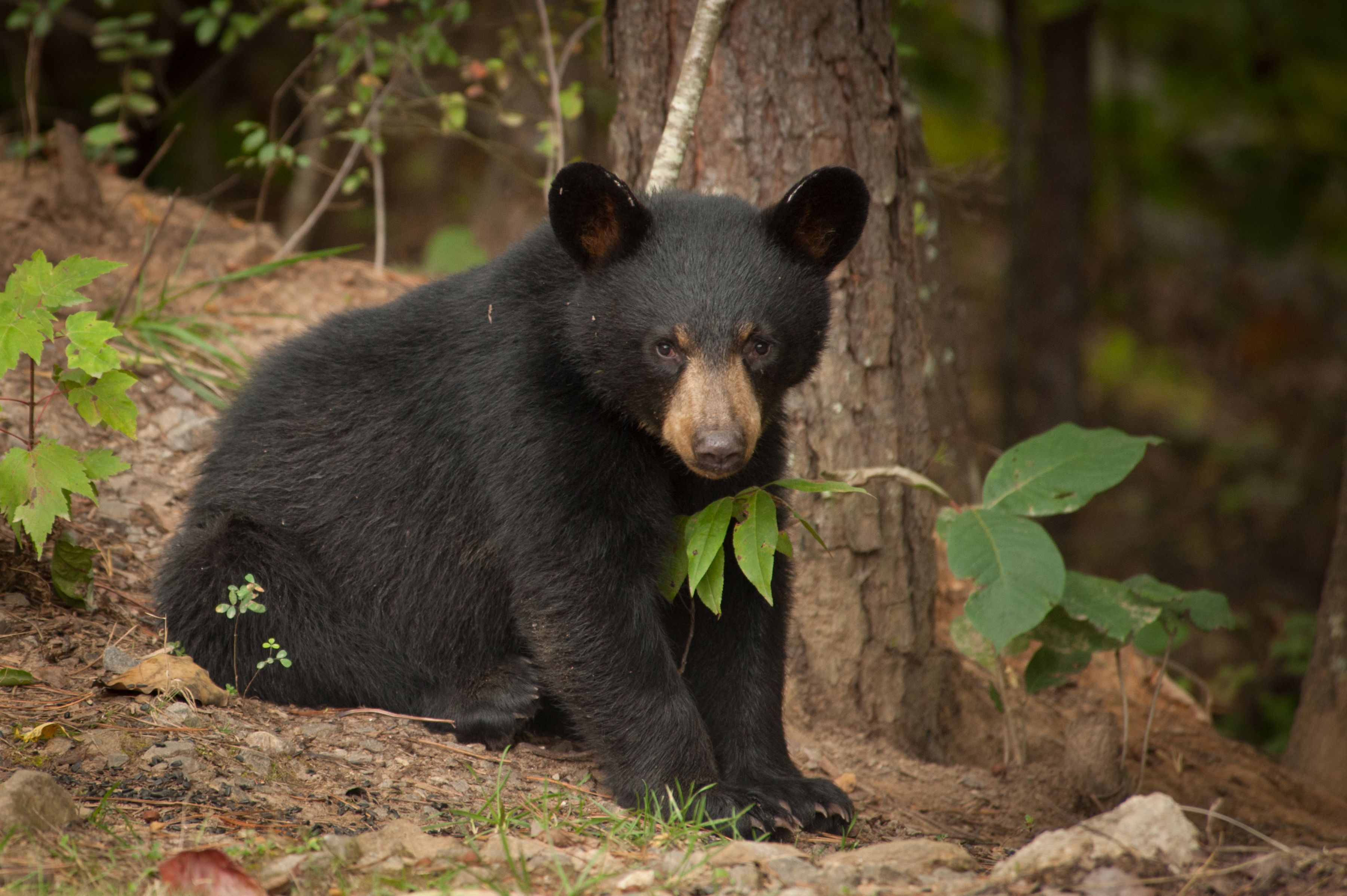 Frequently Asked Questions about Bears at Cades Cove Visitor Center