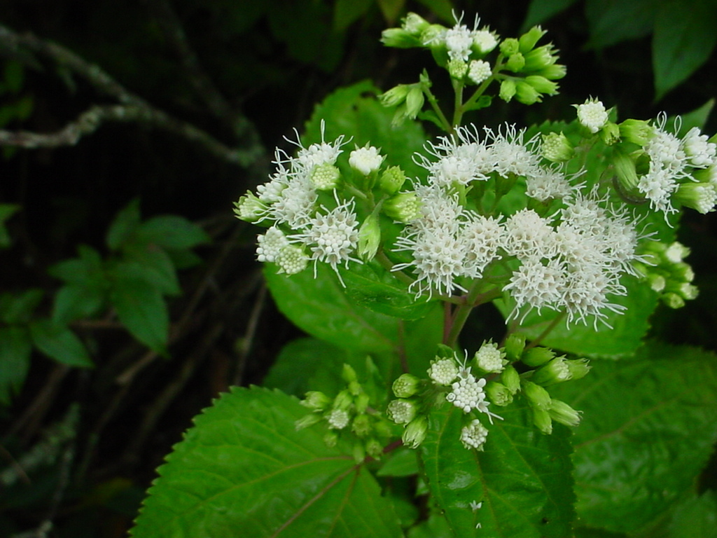 Wildflowers 101: White Snakeroot and Mountain Gentian