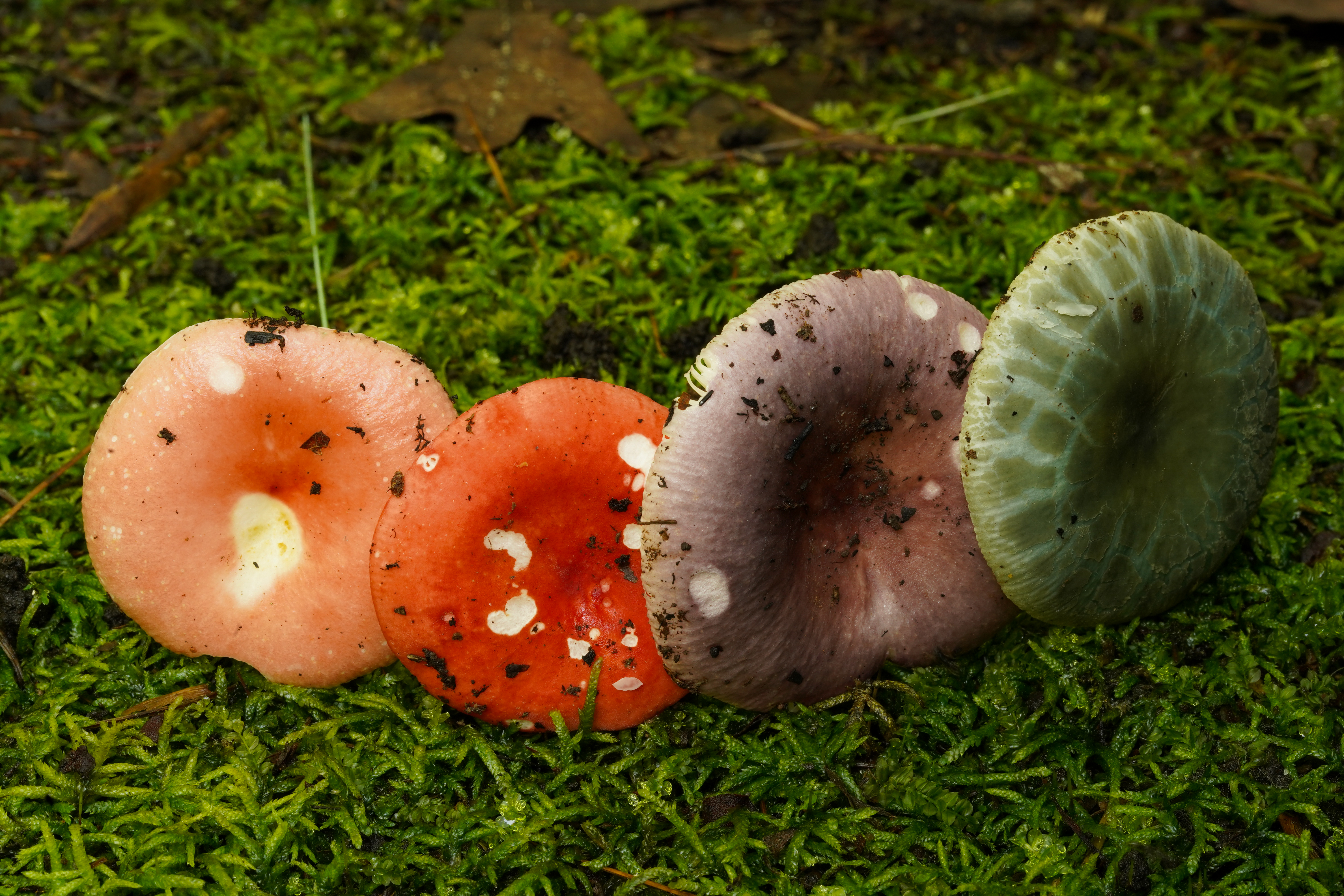 Russula mushrooms appear in a wide variety of colors, sometimes making proper identification difficult. Photo courtesy of Chance Noffsinger