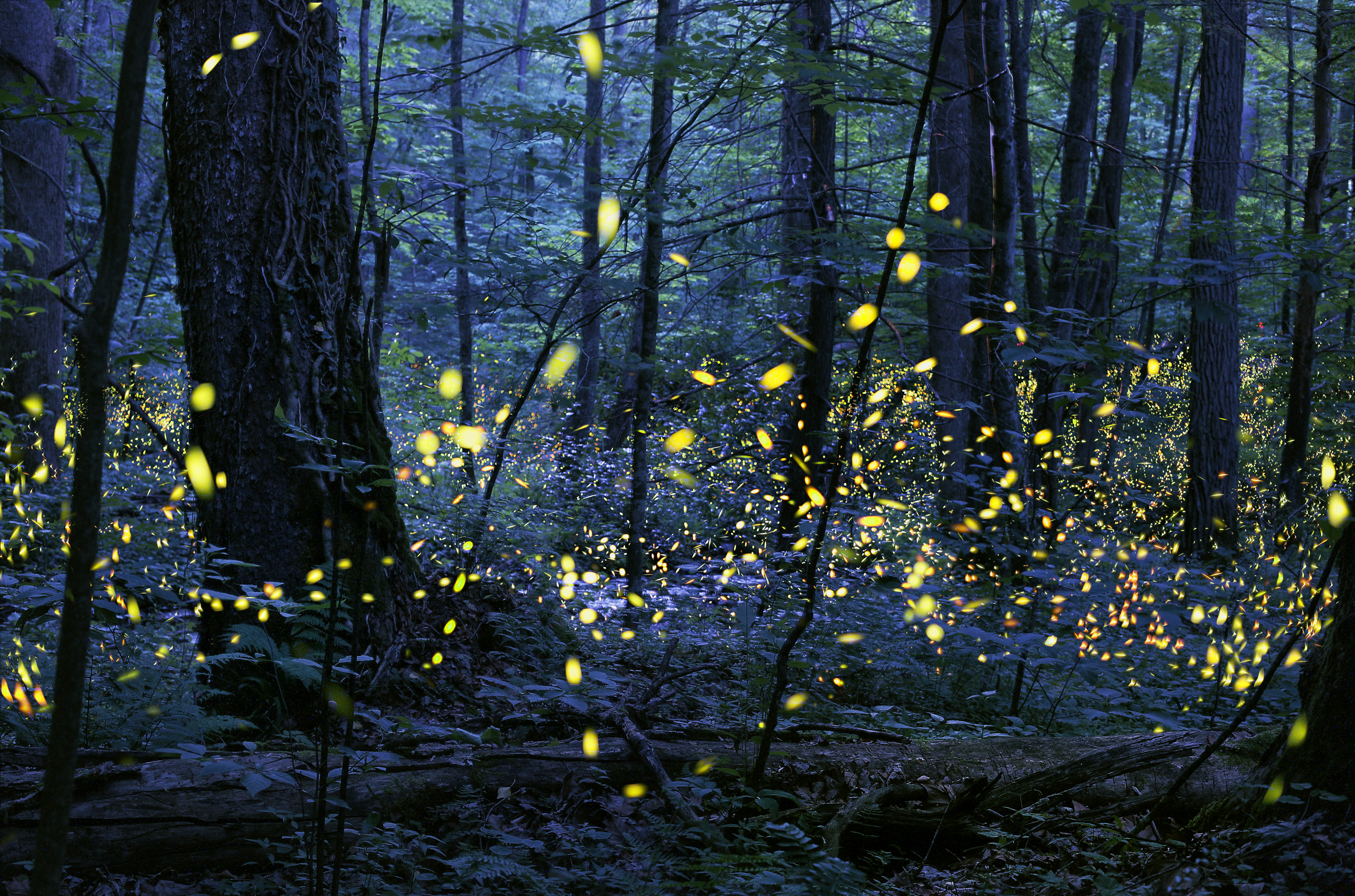 """""""Gathering of Souls,"""" which depicts Photinus carolinus, the synchronous fireflies, won the Smithsonian Photography Contest in 2016. Photo courtesy of Radim Schreiber, FireflyExperience.org."""