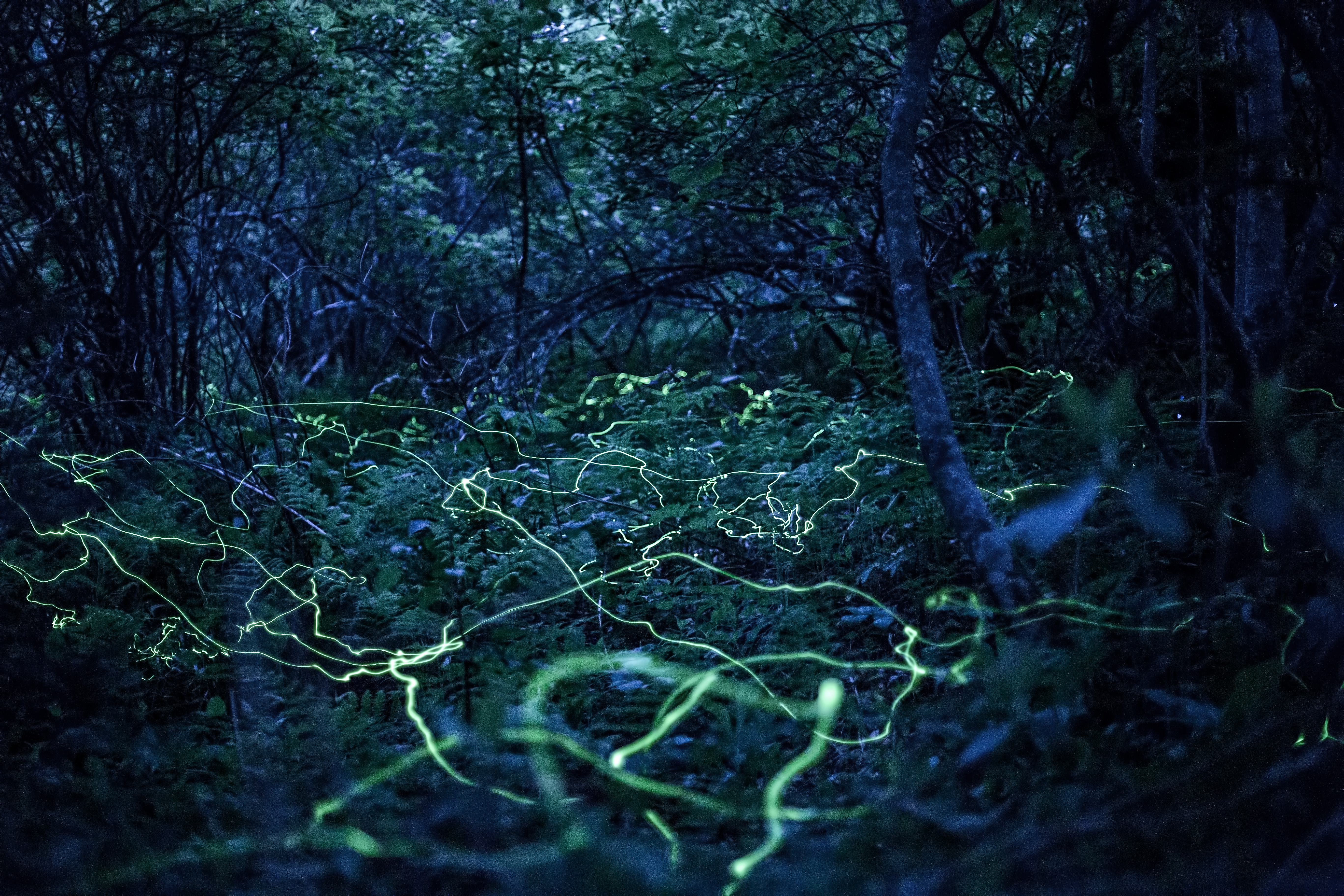 Phausis reticulata, the blue ghost fireflies, hover just above the ground in search of mates, creating an unforgettable eerie yet friendly glow. Photo courtesy of Radim Schreiber, FireflyExperience.org.