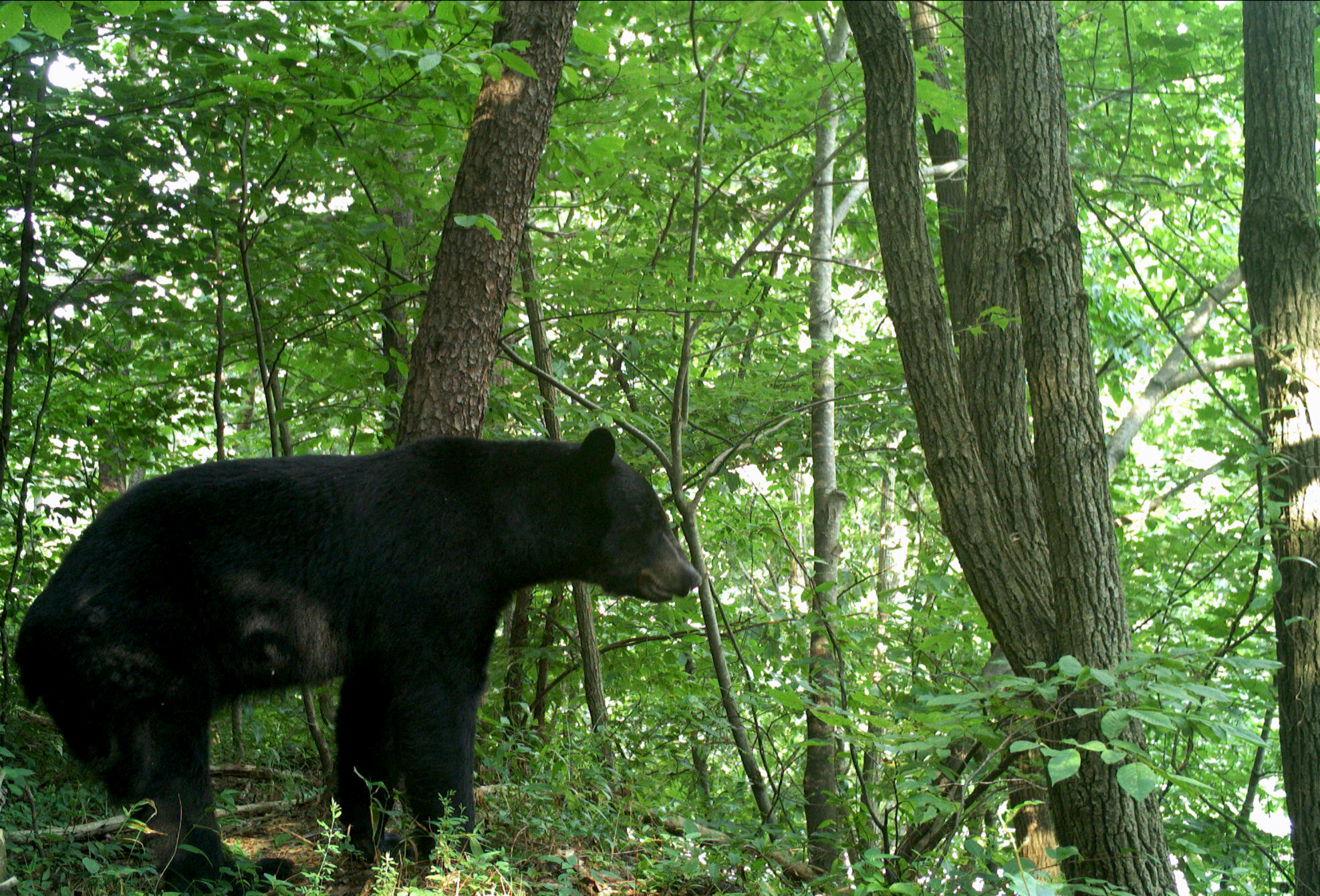 This bear is looking down at Interstate 40 and trying to assess crossing options. Studies have shown that animals experience an increased heart rate and respiratory rate while trying to figure out how to cross a busy roadway. Photo courtesy of National Parks Conservation Association and Wildlands Network.