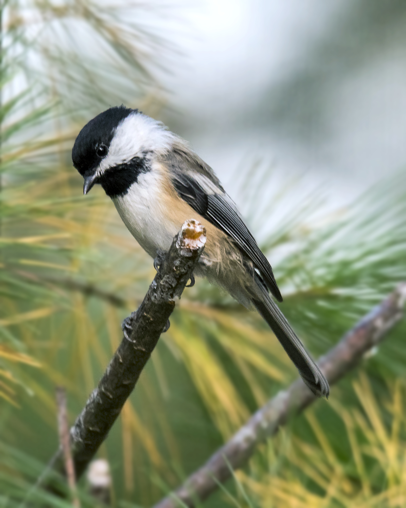 Black-capped Chickadees use at least 13 different vocalizations to communicate complex information and warn other birds about threats in dense vegetation. Photo courtesy of Warren Lynn.