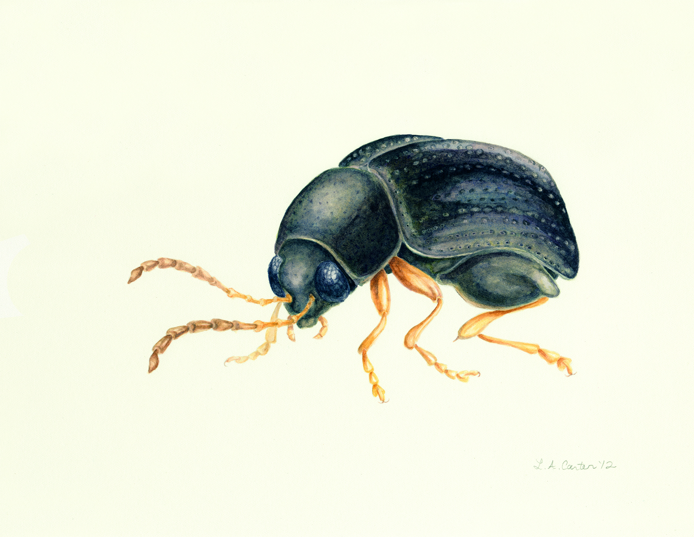 This illustration of the Appalachian flea beetle, one of hundreds of new species discovered since the All Taxa Biodiversity Inventory began in 1998, is an example of how art plays a role in the ATBI. Illustration by L. A. Carter.