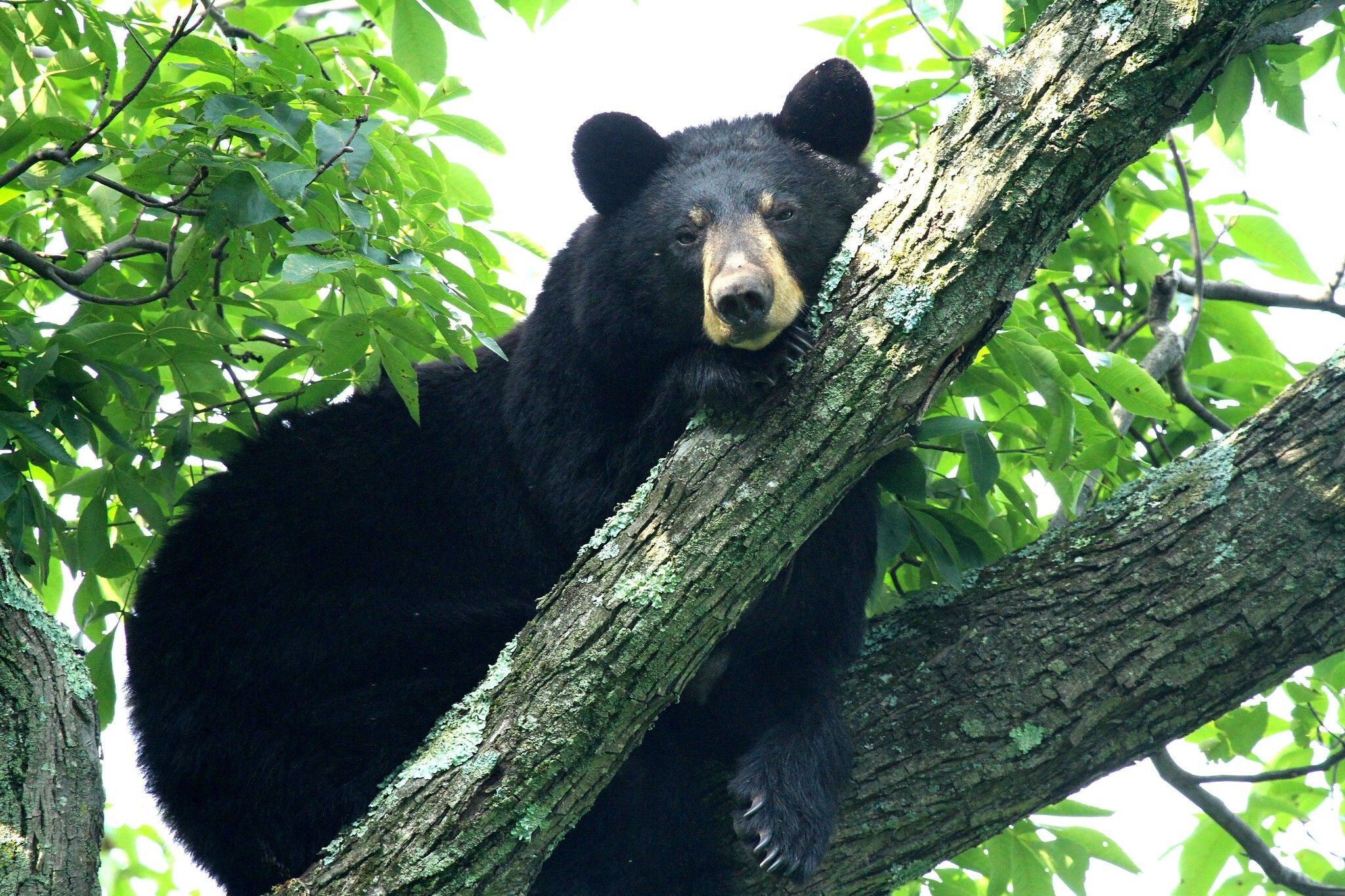 Black Bear in the trees
