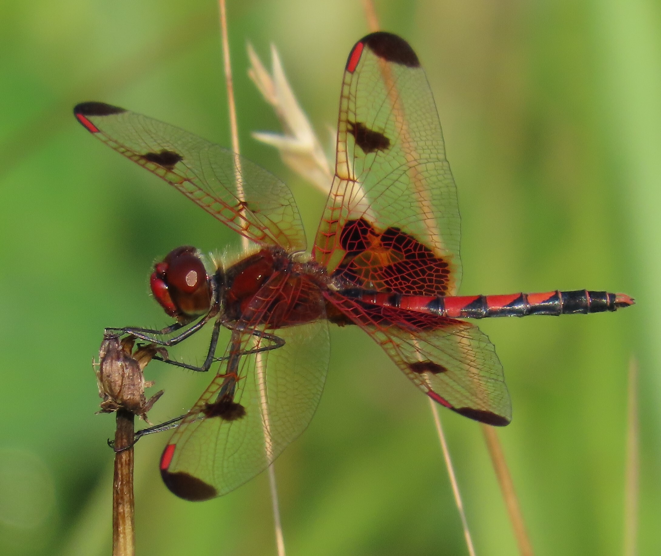 The Calico Pennant was found perching on dead plant stems in a field near the Oconaluftee Job Corps Center on the North Carolina side of the park. Photo courtesy of Nora Murdock of GRISLD.