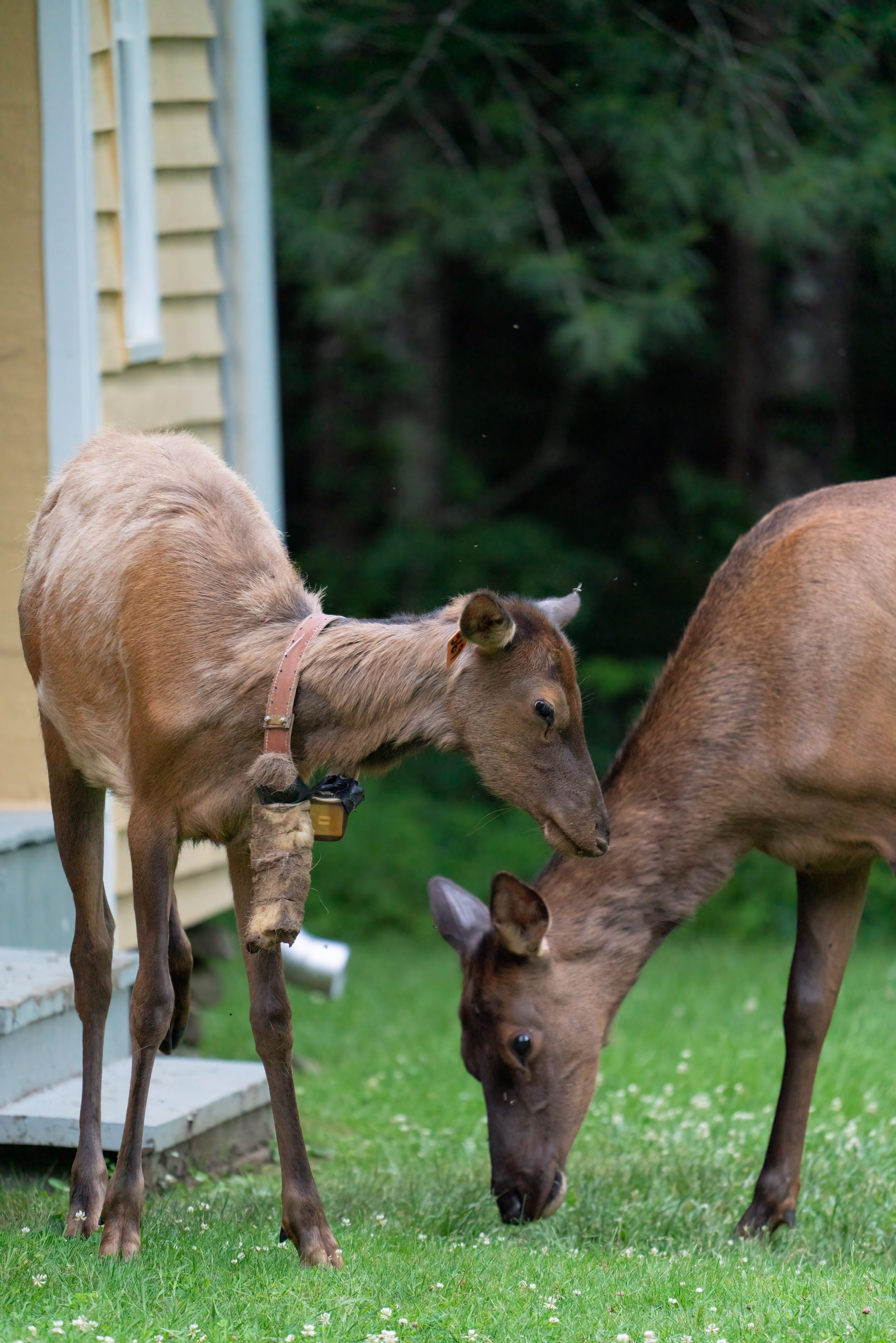 Elk of all ages visit the Palmer Place in Cataloochee on the North Carolina side of Great Smoky Mountains National Park. The collars around these young elks' necks are those used for tracking. Photo courtesy of Joye Ardyn Durham.