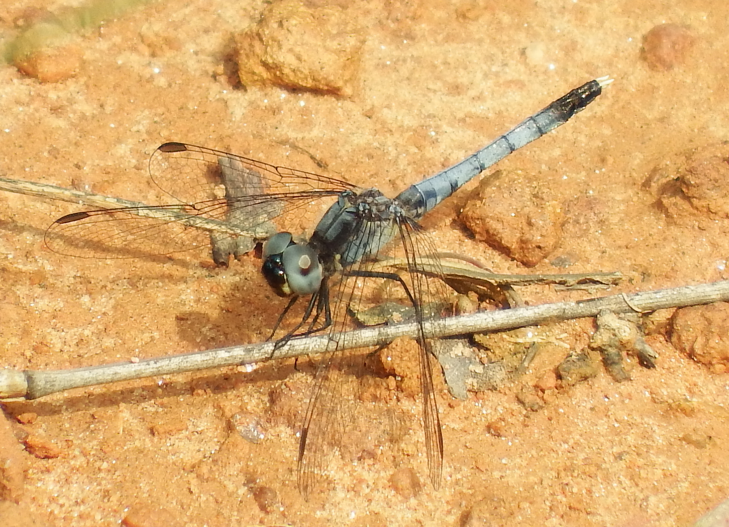 The Little Blue Dragonlet was discovered in the arid soil of Fairview Cemetery about five miles east of Fontana Dam on the North Carolina side of the Smokies. Photo courtesy of Tom Howe of GRISLD.