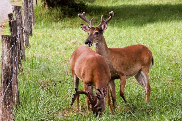 Two deer in Cades Cove