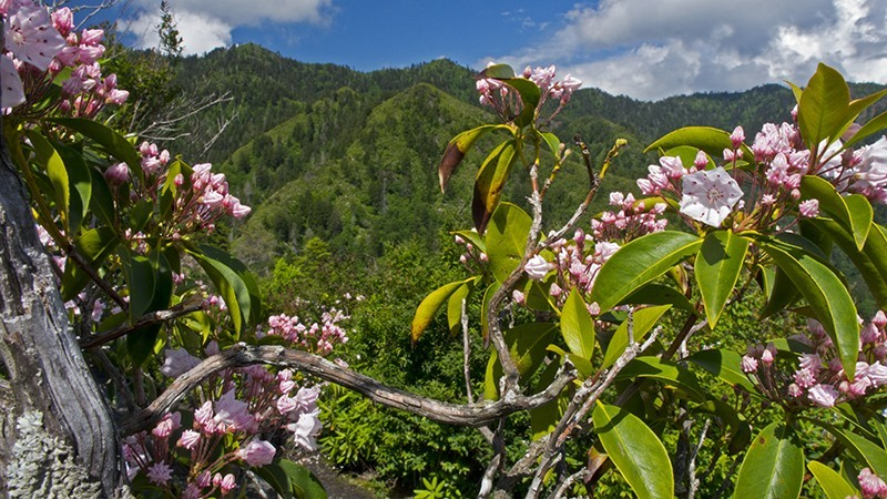 LeConte and Mountain Laurel