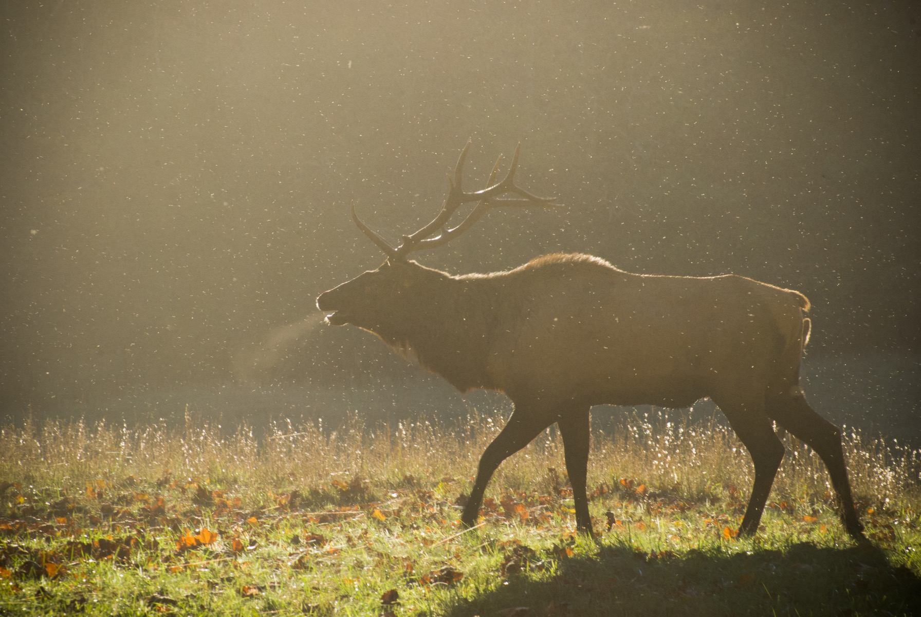 Elk in Great Smoky Mountain National Park